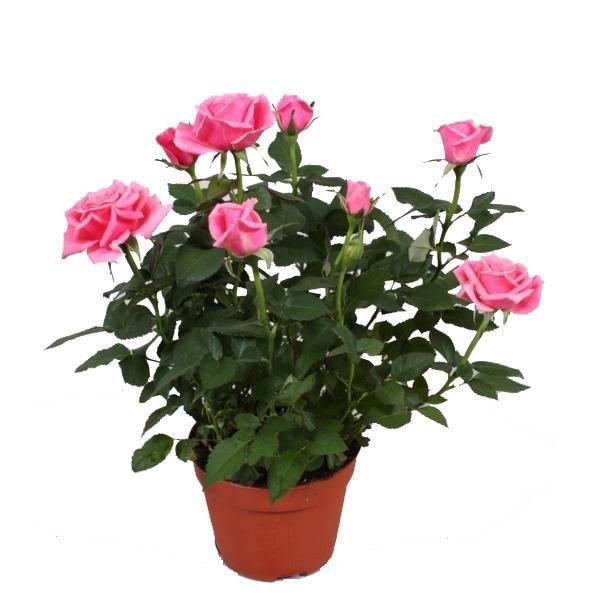 Роза джульетты купить
